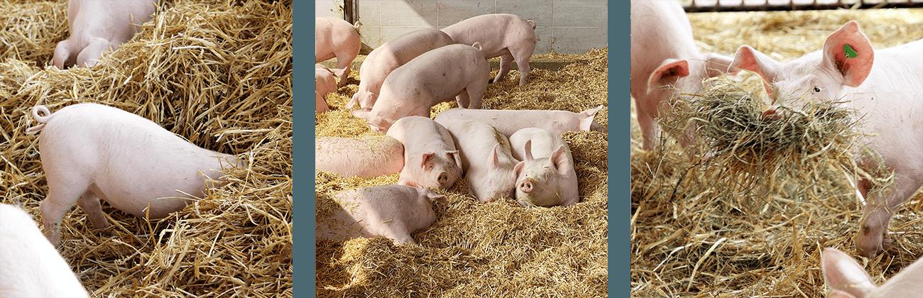 Hofkultur Tierwohl-Stall - Liegebereich